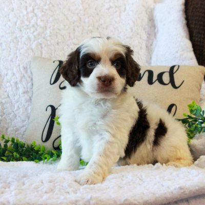 Pauper - f2b ICA Mini Bernedoodle doggie for sale at Narvon, Pennsylvania