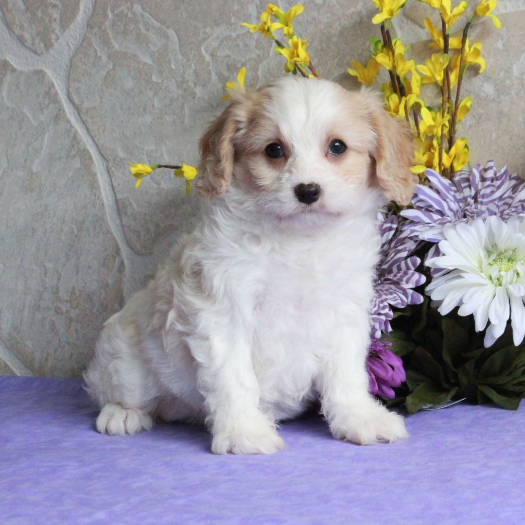 Peaches - F1 Cavachon male pup for sale at Mercersburg, Pennsylvania