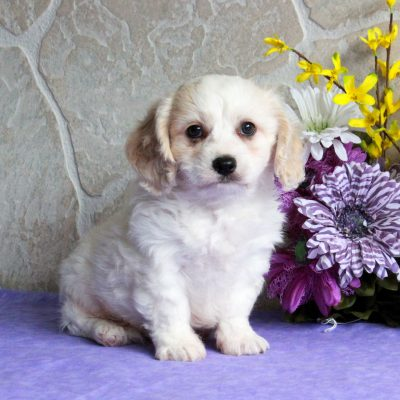 Pepper - F1 Cavachon puppie for sale in Mercersburg, Pennsylvania