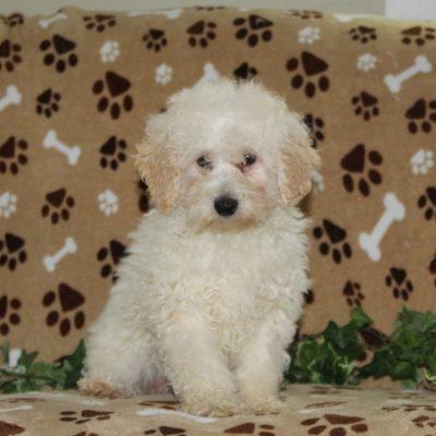 Pete - AKC Mini Poodle male doggie for sale at Nottingham, Pennsylvania