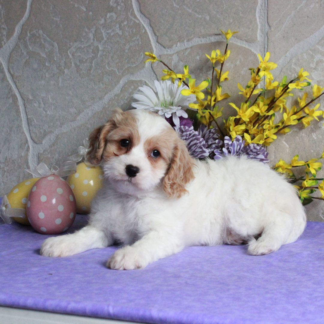 Pippa - F1 Cavachon female doggie for sale near Mercersburg, Pennsylvania