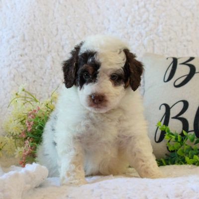 Pirate - puppy f2b ICA Mini Bernedoodle for sale in Narvon, Pennsylvania