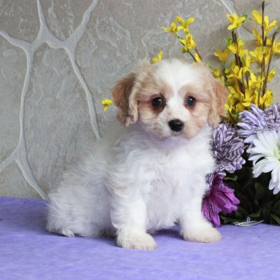 Polly - F1 Cavachon female pupper for sale near Mercersburg, Pennsylvania