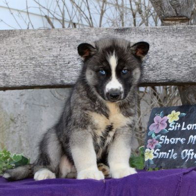 Rascal - AKC Siberian Husky male puppy for sale near Kirkwood, Pennsylvania