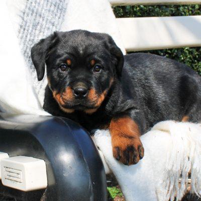 Rayne - puppy ACA Rottweiler for sale near East Earl, Pennsylvania