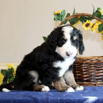 Rex - male f1 Bernedoodle pupper for sale near Mercersburg, Pennsylvania