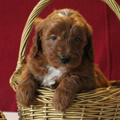 Rocky - f1b Mini Goldendoodle