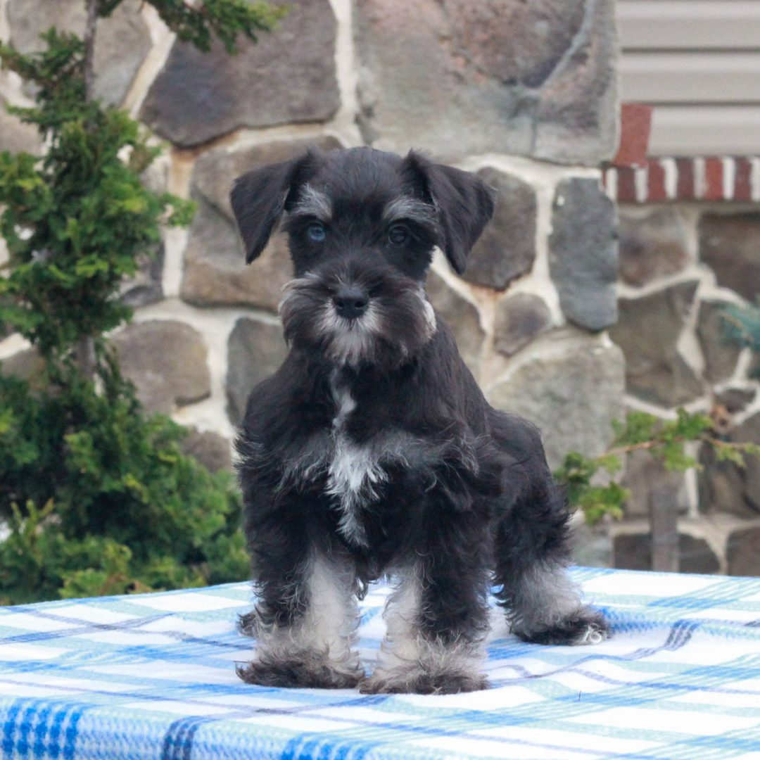 Rover - male AKC Miniature Schnauzer pupper for sale near Mercersburg, Pennsylvania