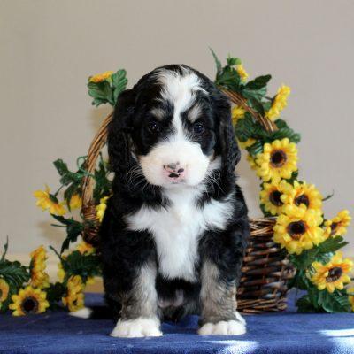 Roxie - f1 Bernedoodle female pup for sale at Mercersburg, Pennsylvania