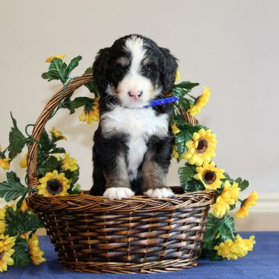Rusty - doggie f1 Bernedoodle male for sale in Mercersburg, Pennsylvania
