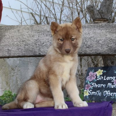 Rozanna - AKC Siberian Husky puppie for sale near Kirkwood, Pennsylvania