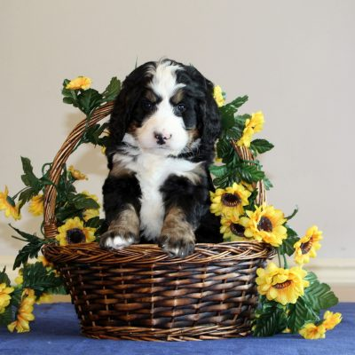 Rusty - f1 Bernedoodle male puppie for sale near Mercersburg, Pennsylvania
