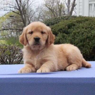 Samantha - puppy AKC Golden Retriever female for sale near Narvon, Pennsylvania