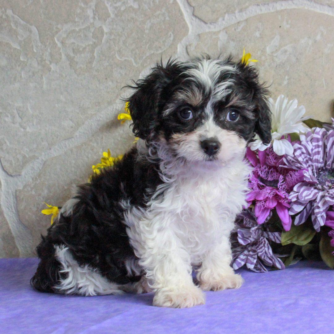 Sammy - puppy F1 Cavachon for sale near Mercersburg, Pennsylvania