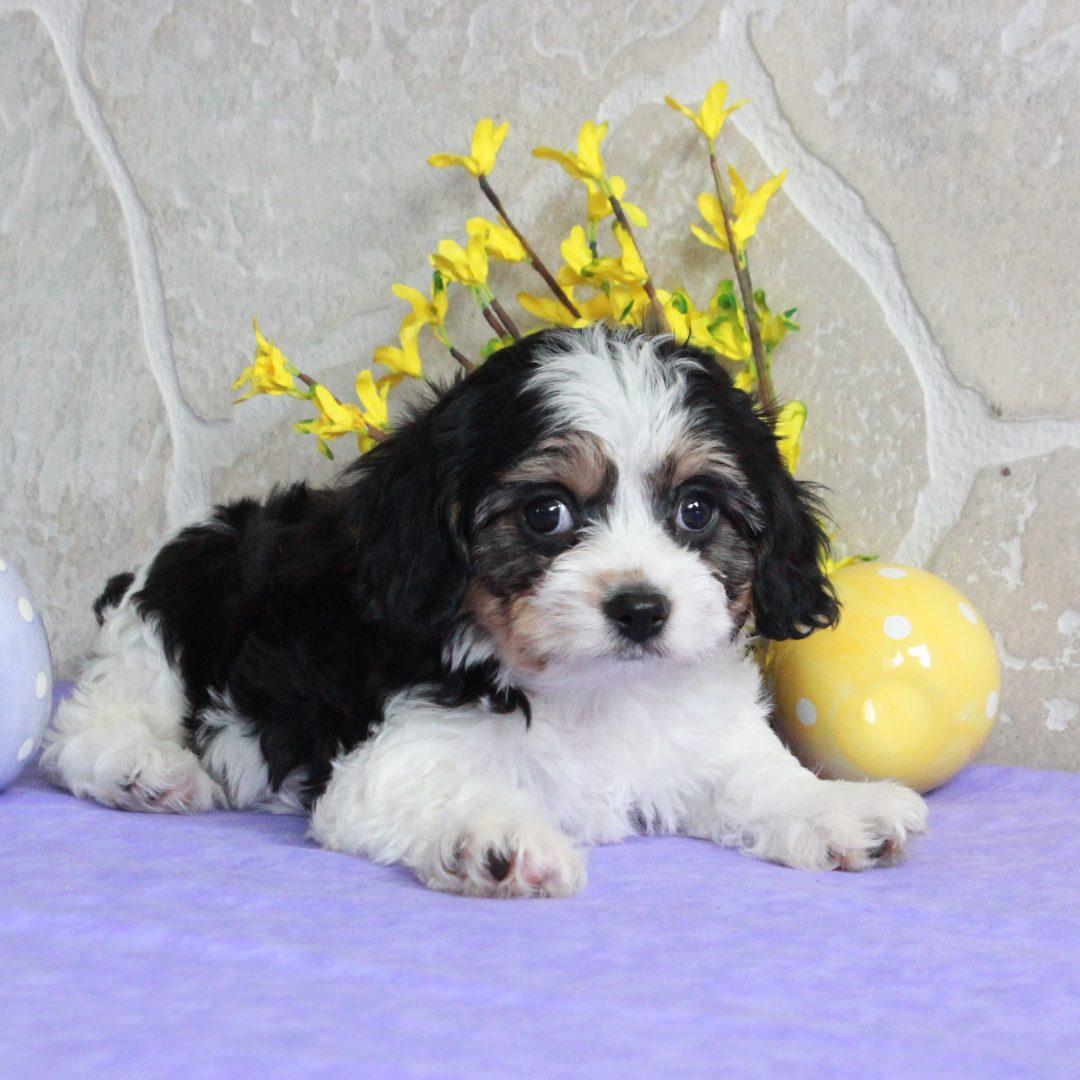Sawyer - F1 Cavachon pup for sale in Mercersburg, Pennsylvania