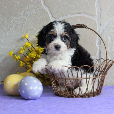 Sawyer - F1 Cavachon pup for sale in Mercersburg, Pennsylvania