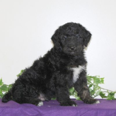 Scamper - Airedoodle male pupper for sale near Holtwood, Pennsylvania