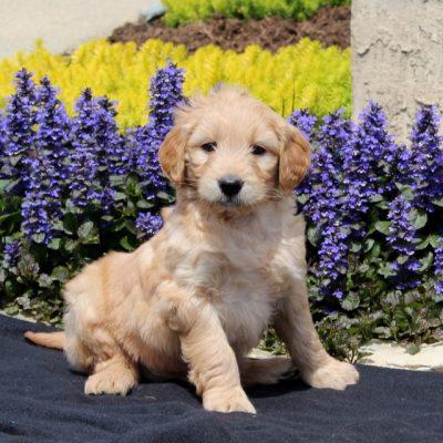 Scamper - F1 Mini Goldendoodle doggie for sale at Strasburg, Pennsylvania