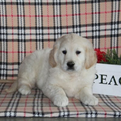 Shep - Golden Retriever male puppie for sale in Providence, Pennsylvania