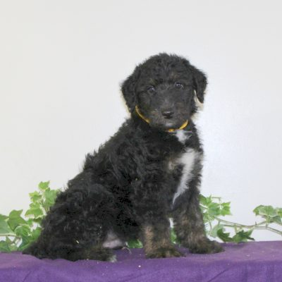 Shiloh - Airedoodle puppie for sale in Holtwood, Pennsylvania