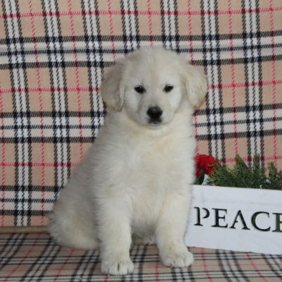 Shiloh - Golden Retriever doggie for sale at Providence, Pennsylvania