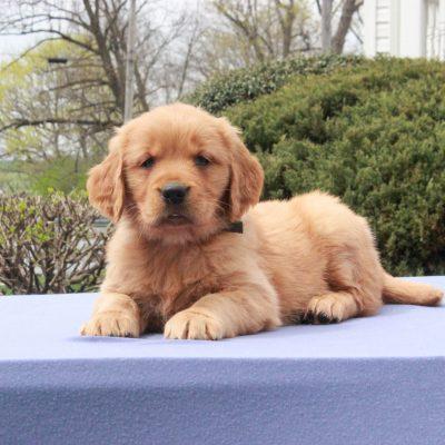 Sonya - AKC Golden Retriever female pup for sale in Narvon, Pennsylvania