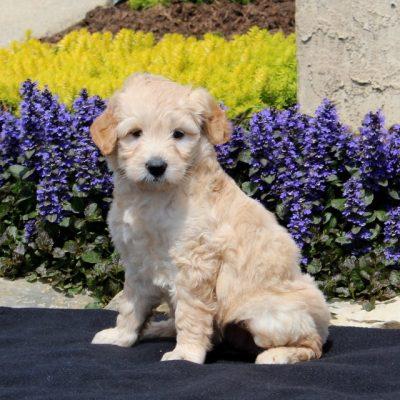 Sophie - F1 Mini Goldendoodle female puppy for sale in Strasburg, Pennsylvania