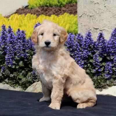 Sparky - puppy F1 Mini Goldendoodle male for sale near Strasburg, Pennsylvania