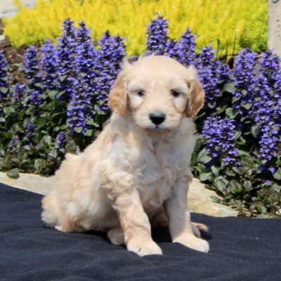 Spike - F1 Mini Goldendoodle male pup for sale near Strasburg, Pennsylvania