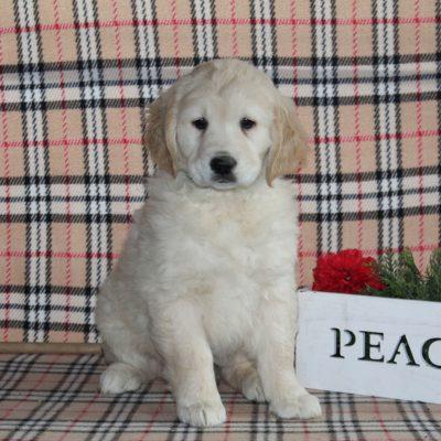 Starburst - Golden Retriever male pup for sale at Providence, Pennsylvania