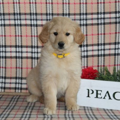 Stella - Golden Retriever female pupper for sale in Providence, Pennsylvania