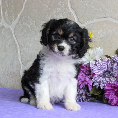 Sarah - F1 Cavachon pupper for sale at Mercersburg, Pennsylvania