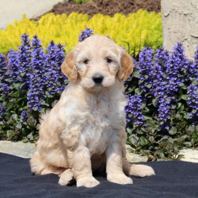 Sweetie - F1 Mini Goldendoodle female pup for sale at Strasburg, Pennsylvania