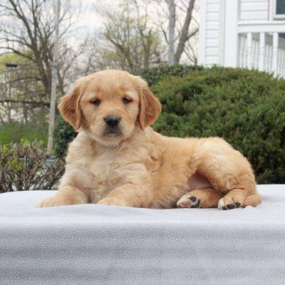 Tabby - AKC Golden Retriever puppie for sale in Narvon, Pennsylvania