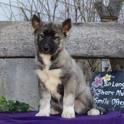 Tabitha - doggie AKC Siberian Husky for sale at Kirkwood, Pennsylvania