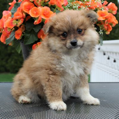 Tamy - Eskimo Spitz/Pomeranian puppy for sale