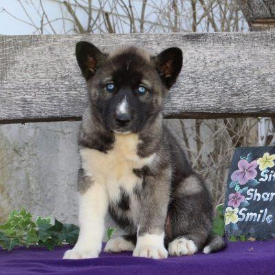 Tanisha - AKC Siberian Husky puppy for sale near Kirkwood, Pennsylvania