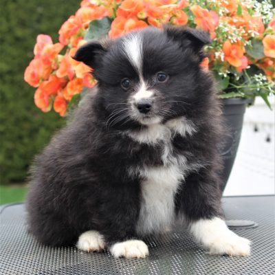 Tank - Eskimo Spitz/Pomeranian male pupper for sale