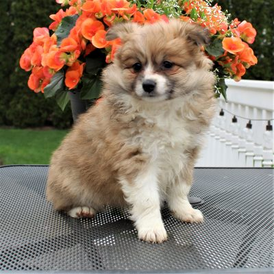 Tara - Eskimo Spitz/Pomeranian female pup for sale