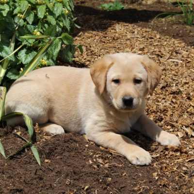 Tessa - Lab Mix pupper for sale at Strasburg, Pennsylvania
