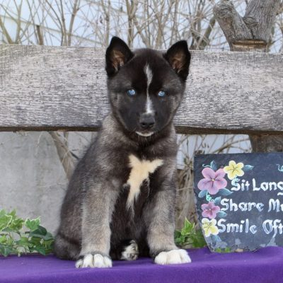Theo - AKC Siberian Husky pupper for sale at Kirkwood, Pennsylvania