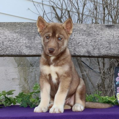Timothy - AKC Siberian Husky puppy for sale in Kirkwood, Pennsylvania