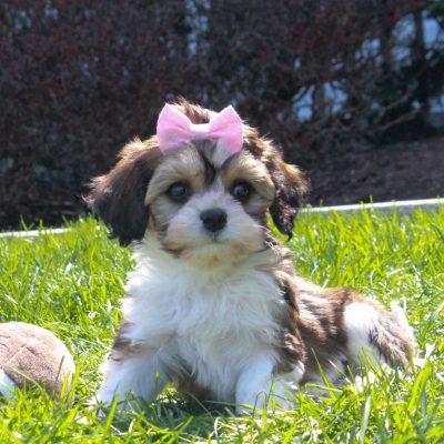 Tiny - F1 Cavachon male pup for sale near Mercersburg, Pennsylvania