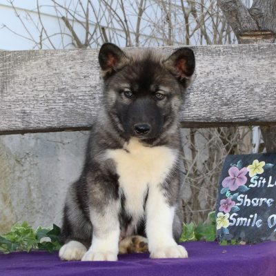 Tommy - puppie AKC Siberian Husky for sale near Kirkwood, Pennsylvania