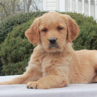 Tonya - pup AKC Golden Retriever female for sale at Narvon, Pennsylvania