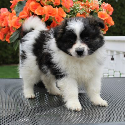 Troy - Eskimo Spitz/Pomeranian male puppie for sale