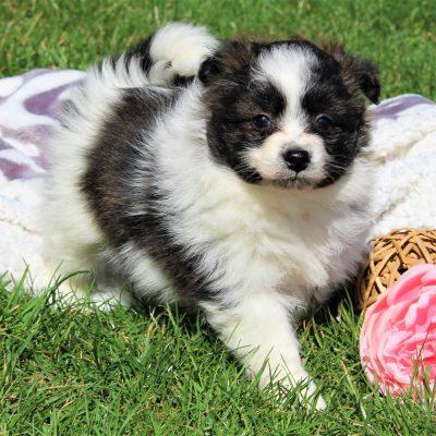 Troy - Eskimo Spitz/Pomeranian = Pomino