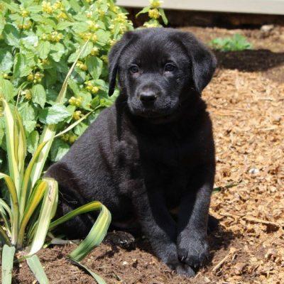 Tucker - Lab Mix male doggie for sale in Strasburg, Pennsylvania