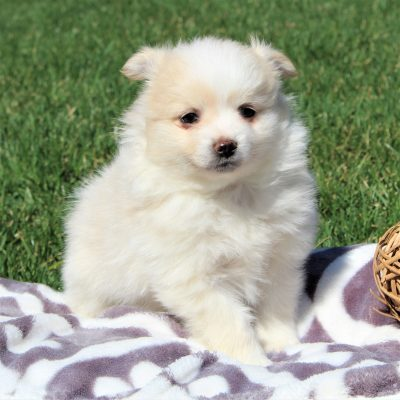 Tyler - Eskimo Spitz/Pomeranian male doggie for sale