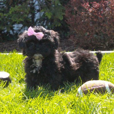 Victoria - female F1 Shihpoo pup for sale near Mercersburg, Pennsylvania
